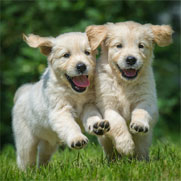 Two puppies running through grass