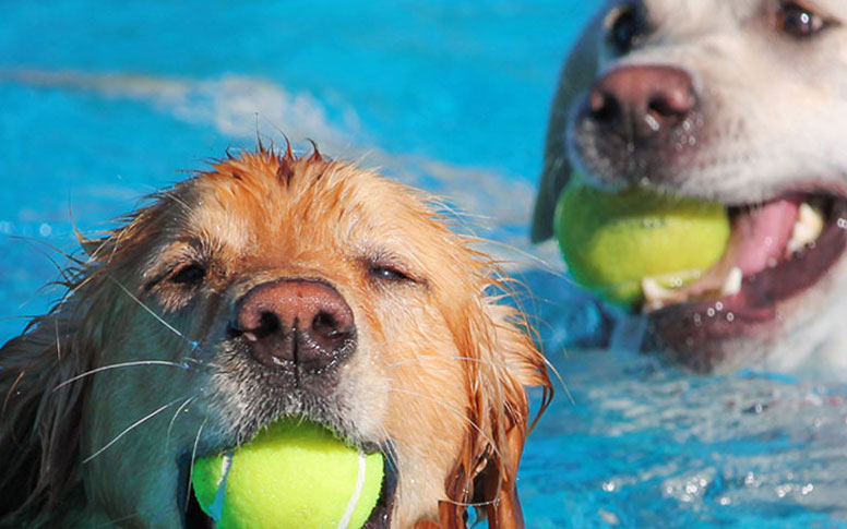 Dogs swimming with tennis balls